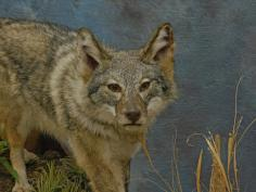Female Coyote head on picture..
