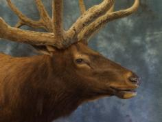 Full velvet Bull Elk face. 0