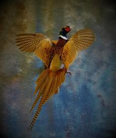 Ringneck Pheasant Going Up. 0