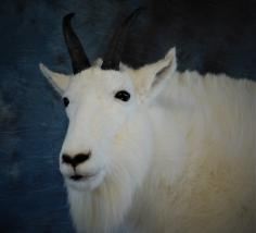 Beautiful Mountain Goat Billy. C,ose Look at the Face. 0